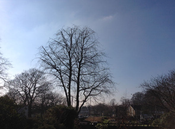 Beech Tree Crown Reduction After